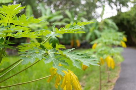 Green and yellow papaya leaves. Image use for food in the farm of gardener.