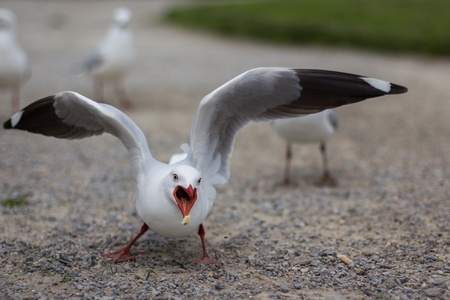 st kilda: A seagull lunges for a scrap of food near Melbournes St Kilda Beach.