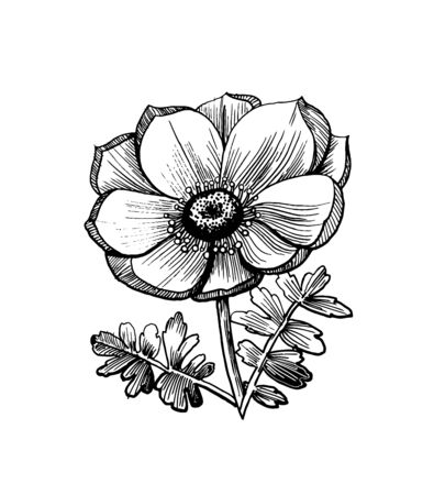 Realistic sketch of a flower with leaves. Hand drawn illustration of anemone for a greeting card, tattoo or any other kind of design