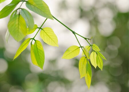 clse: Young green leaves on tree with shallow dept of field, and abstract natural background.