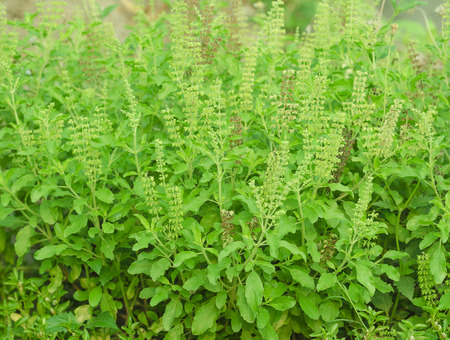 spicy plant: Green Thai basil in plant with its flower,  It is spicy herb.