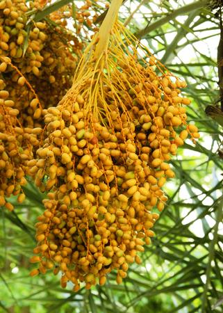 Racimo de palmera datilera madurando lentamente en palmeras datileras por la tarde.