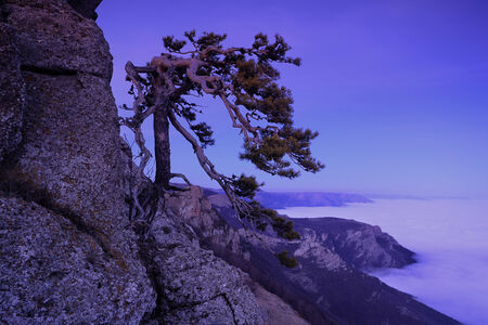 rocky mountain juniper: Mountain pine in the background is Demerdji in the Crimea