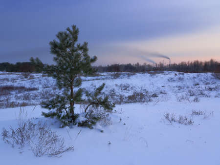 sheltered: beautiful winter pine sheltered snow at sunset