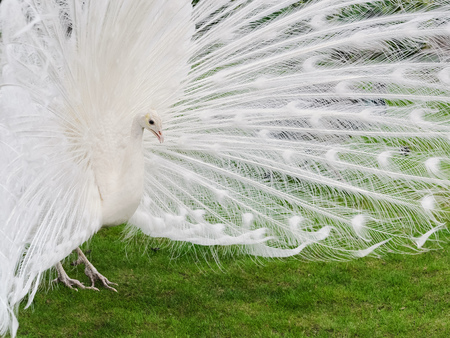 Male white peacocks are spread tail-feathers. Ukraine Dnepropetrovsk