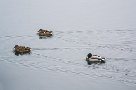 group ducks on the ice in the river in winter. Dnepropetrovsk, Ukraine.