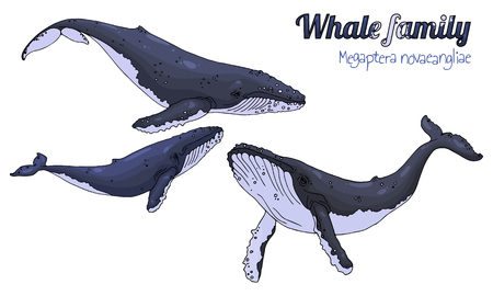 The family of whales with their calf. Megaptera novaeangliae. Vector illustration.