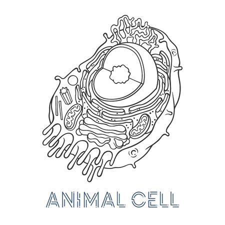 Vector sketching illustrations. Schematic structure of animal cell. Illustration