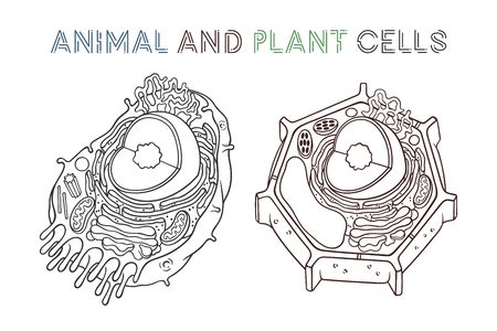 Vector sketching illustrations. Schematic structure of animal and plant cells.