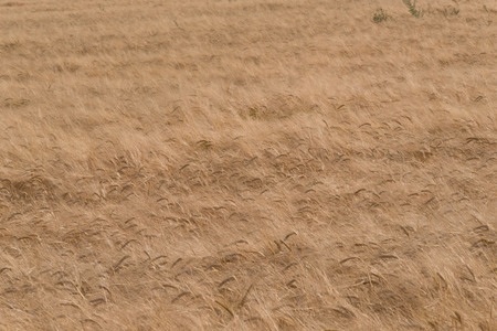 nearly: Golden wheat field nearly ready for havesting.