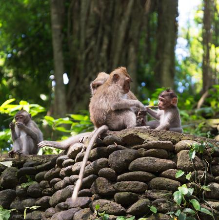 ubud: Long tailed macaque in the Monkey Forest near Ubud Bali Stock Photo