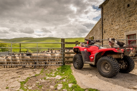 Sheepdog watching you from a quad bike.  Sheep are behind a gate and the dog is on the rear of the quad bike.  The Yorkshire dales are in the background.