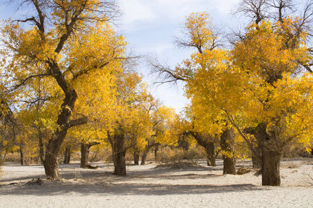 Poplar tree in autumn season photo