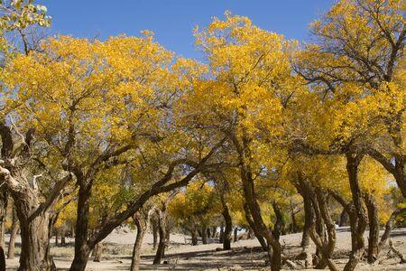arbol alamo: �rbol de �lamo en oto�o, Ejina, Inner Mongolia, China