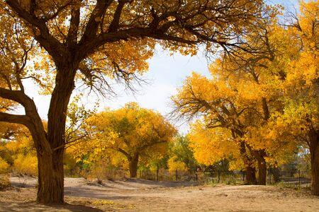 Poplar trees in autumn season, Ejina, Inner Mongolia, China