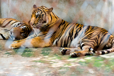 locked up in a cage: Portrait of tigers in a cage in zoo Stock Photo