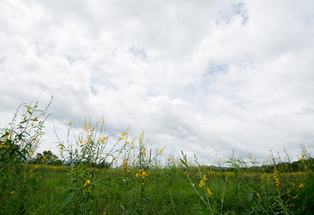 monsoon clouds: Grass and yellow hemp flower fields in the cloudy background