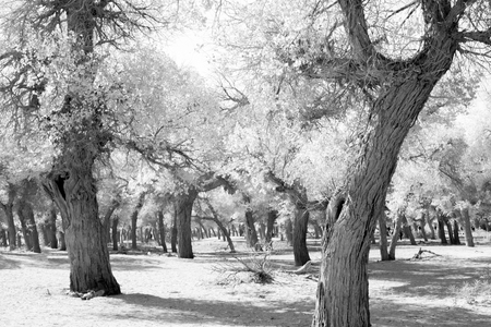 monotone: Forest in monotone image in inner mongolia Stock Photo