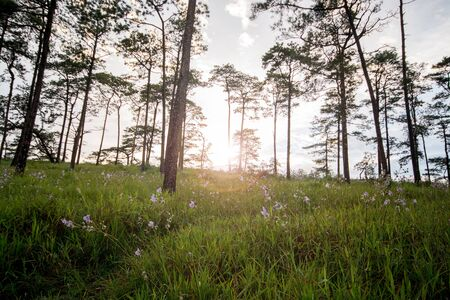 are taken: Photo of meadow and pine forest has been taken before sunset Stock Photo