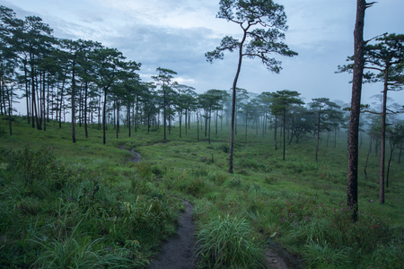 medow: Photo of pine trees on the mountains whith fog under the rain clouds Stock Photo