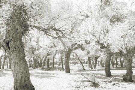 monotone: Forest in monotone image in inner mongolia Stock Photo