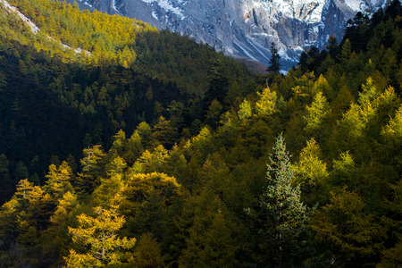 alpenglow: Pine forest in autumn, Yading national level reserve, Daocheng, Sichuan Province, China.