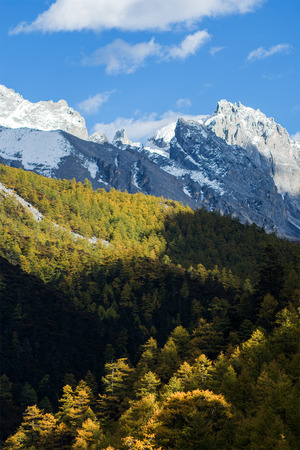 alpenglow: Pine trees in autumn, Yading national level reserve, Daocheng, Sichuan Province, China.