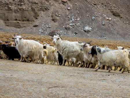 mountain goat: Goatslooking for food on foot of the hills