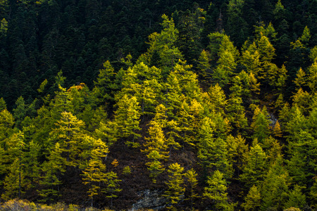moving images: Pine trees in autumn, Yading national level reserve, Daocheng, Sichuan Province, China.