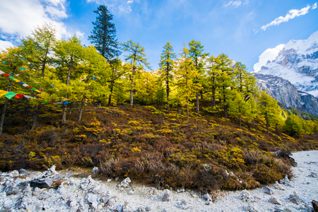 Pine trees in autumn, Yading national level reserve, Daocheng, Sichuan Province, China.