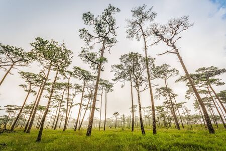 Grass field with pine trees and fog in Phu Soi Dao National Park, Thailand