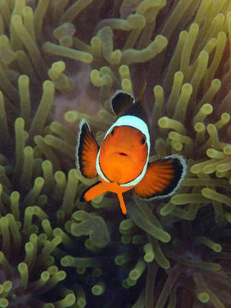 Clownfish fish with sea anemone, underwater landscape with sea life, cute animal