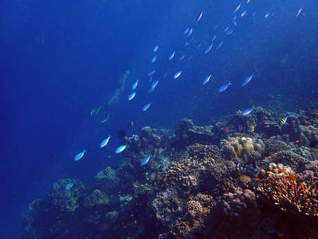 Sea fish with corals in sea and diver, underwater landscape with sea life, blue water background