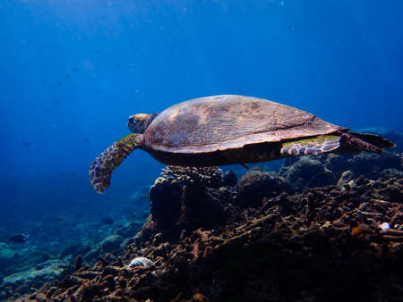 Turtle swimming in sea, underwater animal photography