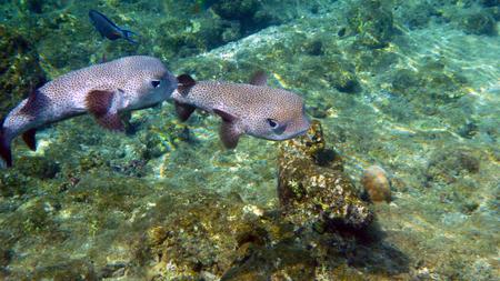 Boxfish couple
