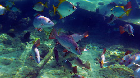 Mangrove red snappers grouping near wreck Stock Photo