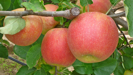 Jonagold apples on tree ready for picking