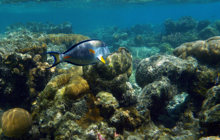 Arabian surgeonfish (Acanthurus sohal) among corals in shallow water of the Red Sea Stock Photo