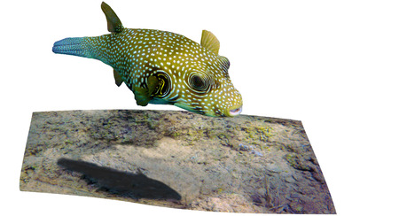 Photo of White spotted puffer, taken in the Red Sea near Arouss, Sudan
