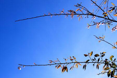 beatiful: beatiful branch of  Prunus cerasoides