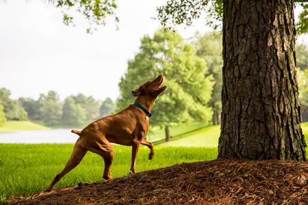 short hair dog: Viszla looking up at treed squirrel