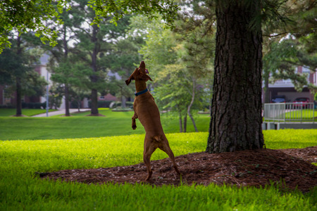 treed: Viszla standing on hind legs looking up at treed squirrel