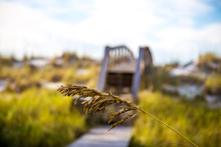 sea oats: Sea Oats with dunes and boardwalk in blurred background