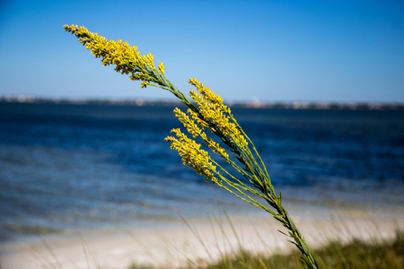 stabilize: Closeup of Dune Grass with beach and surf in background