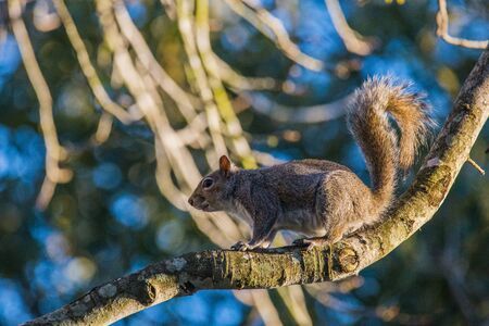 bushy: Squirrel sitting on branch in a tree with sun shining on him and bushy tail curved up