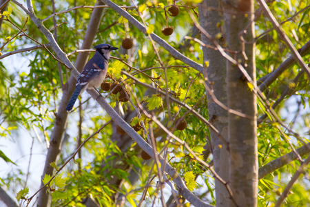 bluejay: Young Blue Jay perched in tree with spring foilage