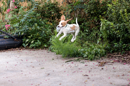 retrieving: Young lemon beagle retrieving water bottle from overgrown garden on patio Stock Photo
