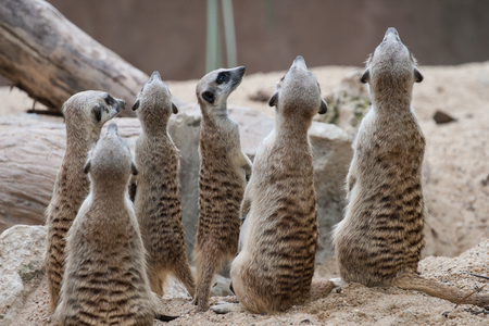 mongoose: meerkat with space of sand