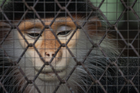 Sad monkey behind the cage photo