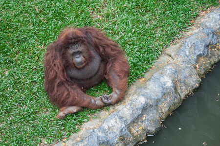 cage gorilla: Orangutan sit on the grass Stock Photo